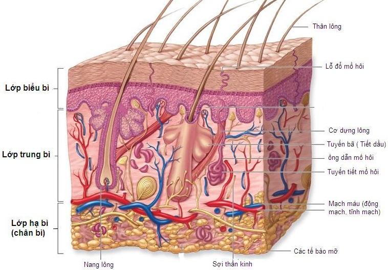 Làn da có cấu tạo và vai trò ra sao với cơ thể